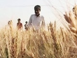 Video : Deadly Wheat Disease Enters India Through Porous Bangladesh Border
