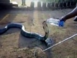 Video : Watch: Thirsty Cobra Drinks Water From A Bottle In Drought-Hit Karnataka