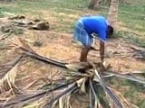 Video : 10 Lakh Coconut Trees Die Due To Drought In Tamil Nadu's Salem District