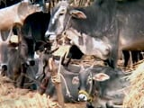 Video : Exporters Comment On Cattle Slaughter Ban