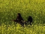 Video : Scientists Want GM Mustard To Be Given Go Ahead For Commercial Production