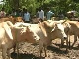 Video : In Assam Too, Cattle Markets Brace Up For Troubled Times Ahead