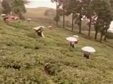 Video : Bandh In Darjeeling Brings Hard Times For The Second-Flush Tea