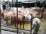 Video: मध्य प्रदेश में शुरू होगी गायों के लिए एंबुलेंस सुविधा
