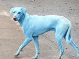 Video : Dogs Turn Blue In Navi Mumbai, Find Out Why
