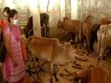 Video : 173 Cows Deaths Allegedly In A Week In Chattisgarh, 9 Officials Suspended