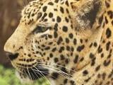 Video: सफारी इंडिया: एक जगह ऐसा भी जहां इंसान और तेंदुए साथ-साथ रहते हैं