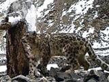 Video: सफारी इंडिया: हिम तेंदुए सिर्फ हिमालय की ऊंची पहाड़ियों पर रहते हैं, देखना बेहद मुश्किल
