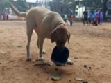 Video : How Honey The Labrador Is Teaching Bengaluru About Road Safety