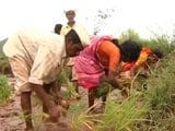 Video : As Diwali Nears, Maharashtra Farmers Still Wait For Government Promise