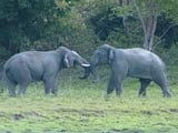 Video : Asian Elephants: Gods Who Walk Amongst Us (Part 1)