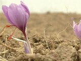 Video : Kashmir's Saffron Farmers' Earnings Dry Up Due To Weak Rains