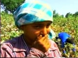 Video : In Telangana, Girls Forced To Pick Cotton Over School