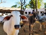 Video : In Rajasthan, Crackdown On 'Cattle Smugglers'