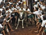 Video : 19-Year-Old Gored To Death During Jallikattu Festival In Madurai