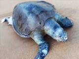 Video : Over 100 Endangered Olive Ridley Turtles Found Dead Along Chennai Coast