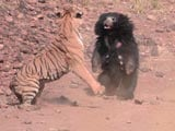 Video : At Tadoba Reserve, Tense Face-Off Between Tiger And Bear Caught On Camera