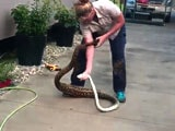 Video : Woman Removes Massive Python From Home. Video Is Viral