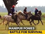 Video : Shrinking Wetlands Are Killing Manipuri Ponies, Policy Push Can Save Them